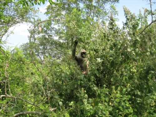 дикие обезьяны с черным лицом