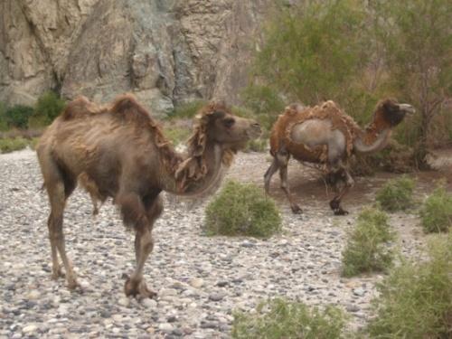 и вышли верблюды