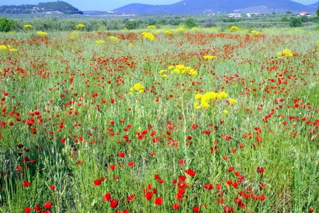 Халкидики. Воздух наполнен ароматом цветов