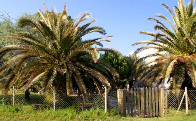 Греческие пальмы