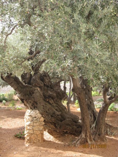 Гефсиманский сад - эти оливы помнят Христа