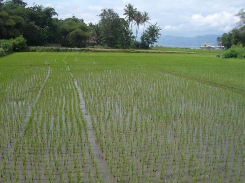 молоденький рис