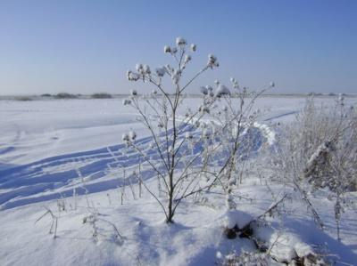 репейник зимой