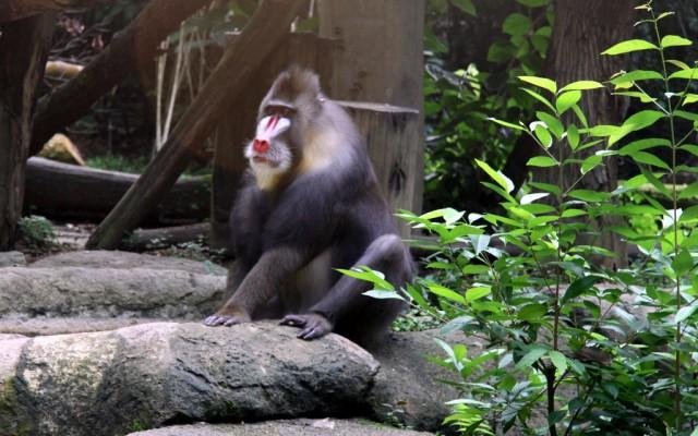 Гамадрил - бабуин
