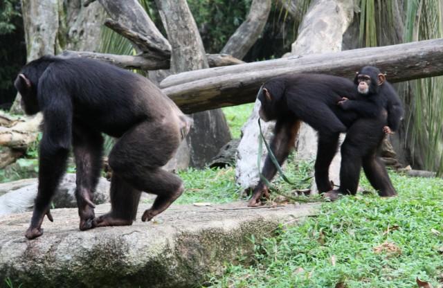 Самые интересные конечно шимпанзе