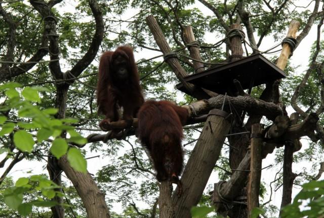 Орангутаны - лесные люди