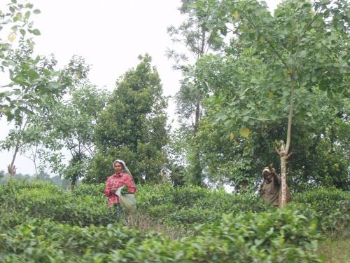 приветливые сборщицы чая