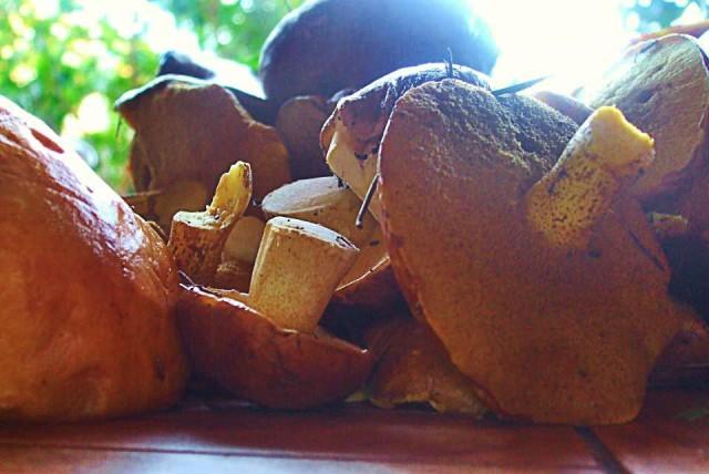 собрали грибы в ельнике недалеко от дома