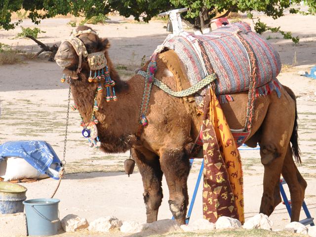 Верблюд в Зельве