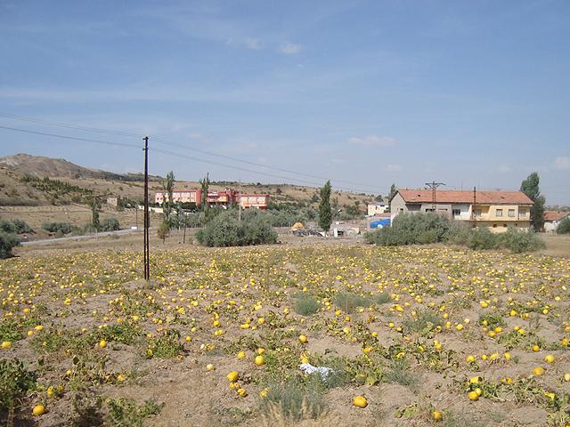 Тыквенные поля
