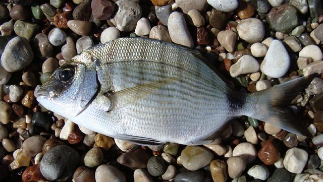 Кусачая рыбка