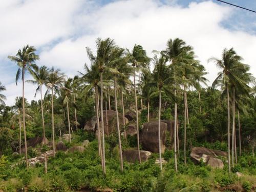 пальмы и камни острова Самуи