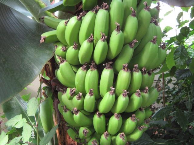 И у нас зреют бананы. А вы как думали?