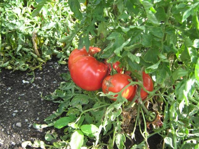Хороши помидорчики!
