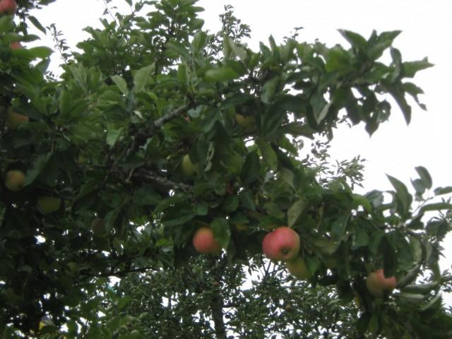 Яблоньки рядом с храмом