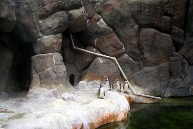 Пингвины Гумбольдта  - гурманы, если тушка рыбы будет рваной, он ее есть не будет