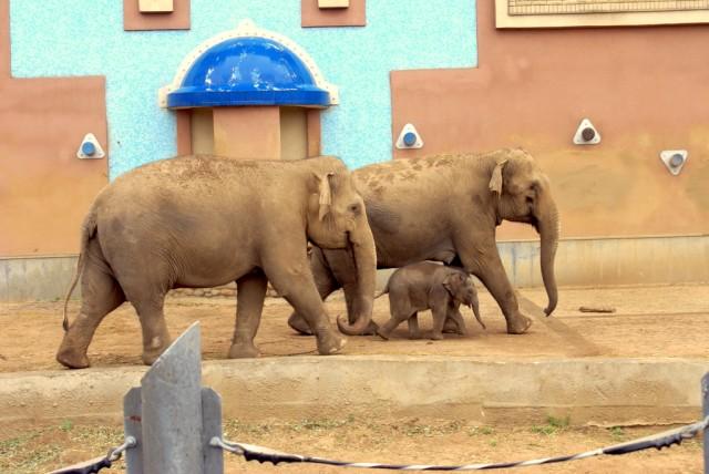 Без поддержки слонихи слоненок заваливается набок
