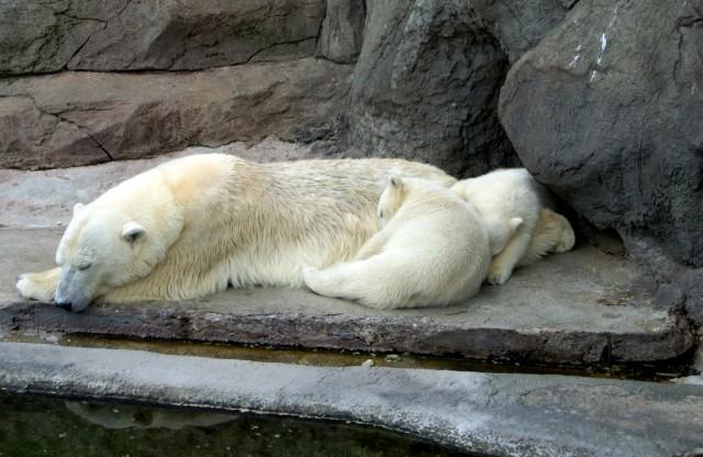 Сонное царство белых медведей