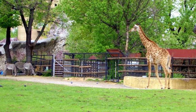 Любознательная жирафа