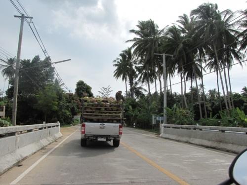 Обезьяны - труженики кокосовых плантаций