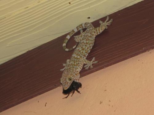Гигантский геккон с добычей