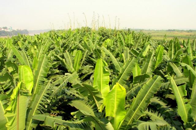 Банановый огород в пойме реки