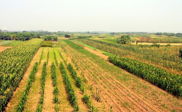 Кукурузные поляны