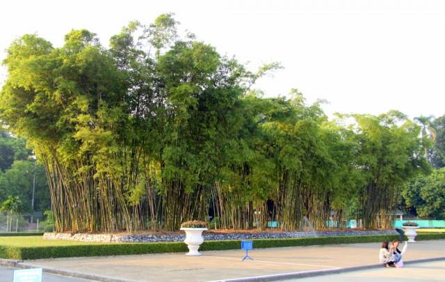 Бамбуковая роща украшает площадь