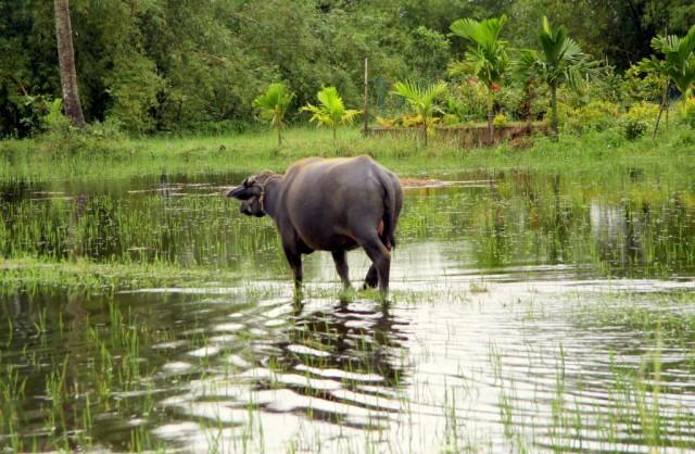 ....буйволов...