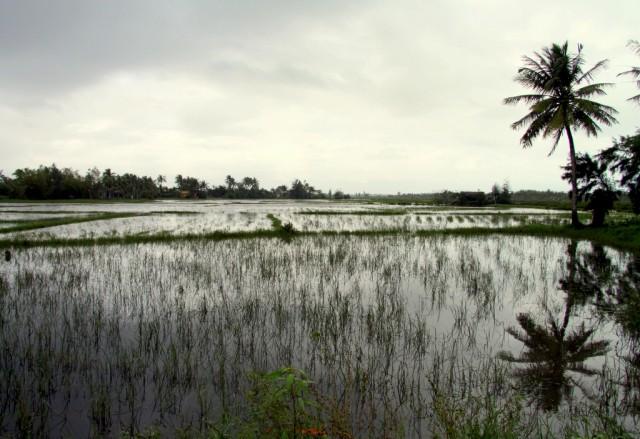 Выращивают рис...