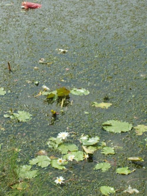 водная флора