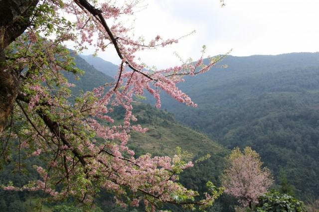 цветущее дерево сундари