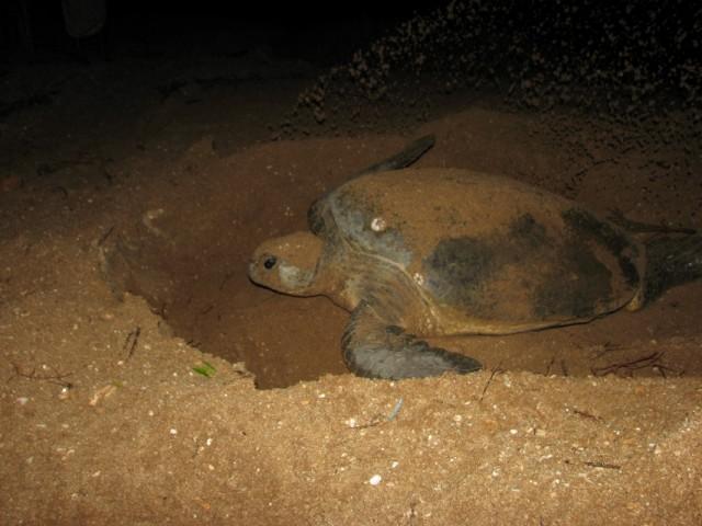 Черепаха выбрасывает песок позади себя на 5-7 м.