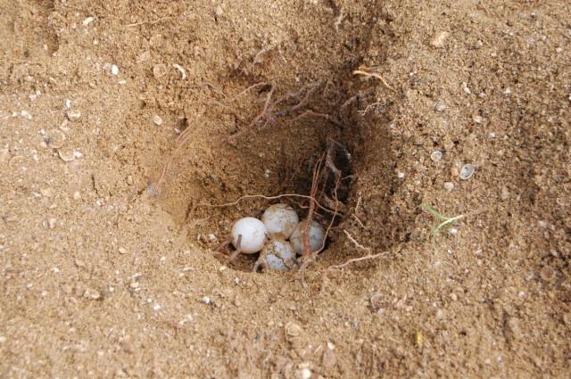 Ласса утром откопал яйца чтобы показать нам и тут же закопал обратно.