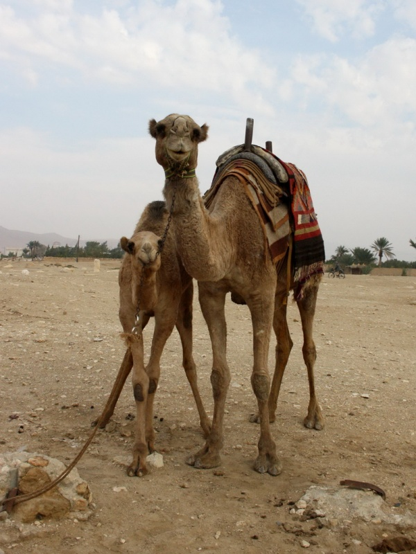 еще верблюды
