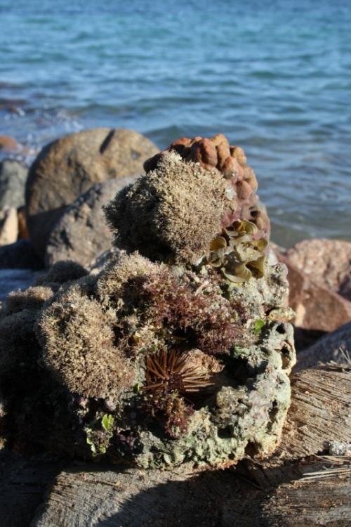 камень с морским ежом