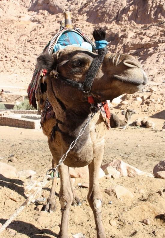 верблюд стоя