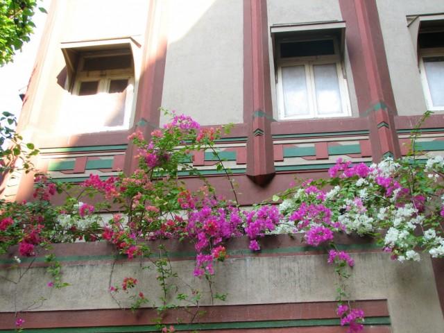 Цветет бугенвилия.