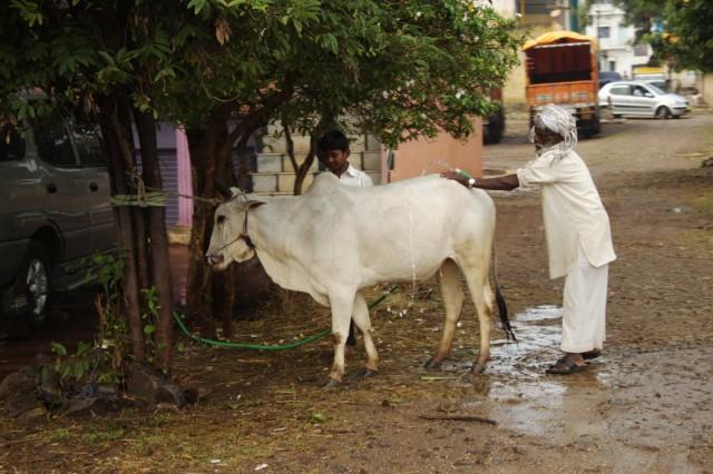 Как любовно старик моет свою корову.