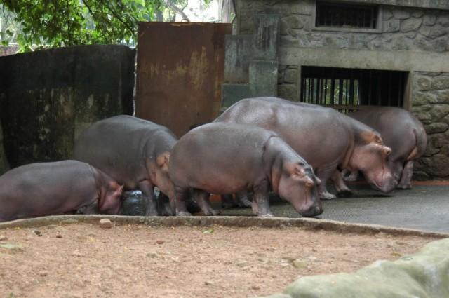 Тривандрум. Гиппопотамы в зоопарке