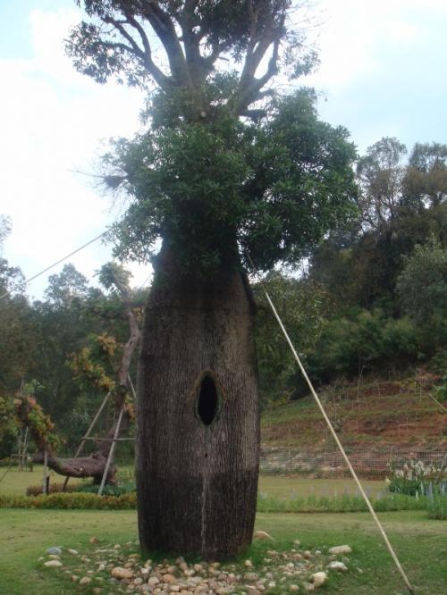 а вот это - бутылочное дерево