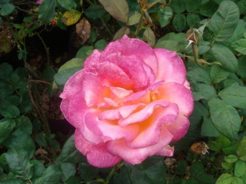 рядом с беседкой - всяческие розы