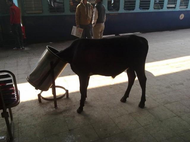 Завтрак индийской коровы))))