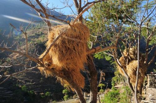 сено сушат на деревьях