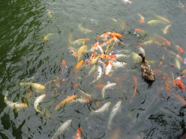Кормим рыбок и уток