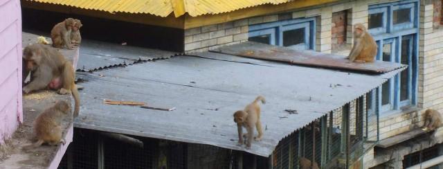 обезьяны на крыше общежития и гостиницы монастыря