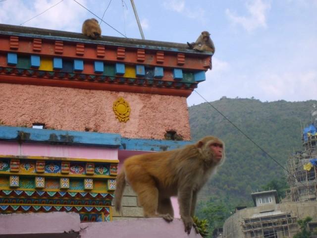 индийские обезьяны на крыше буддийского монастыря