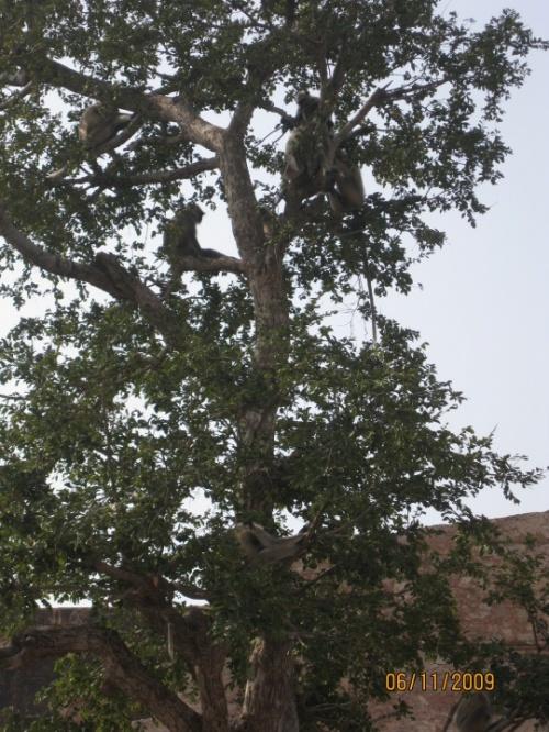 Дерево-обезьян в Джайпуре. Наверное плохо видно