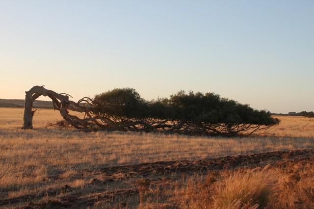 """""""Leaning trees"""" - результат сильных ветров"""