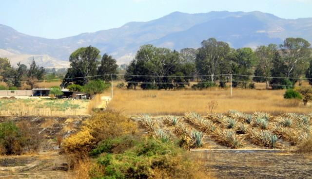 В Мексике растет 136 видов агавы, но текилу делают только из голубой